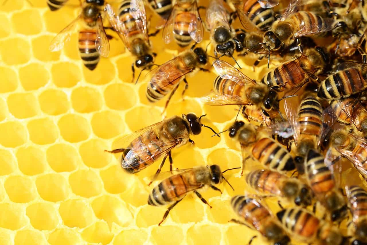 بحث عن النحل