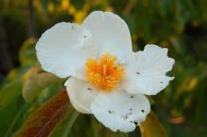 أسماء الورود النادرة Franklin-Tree-300x199