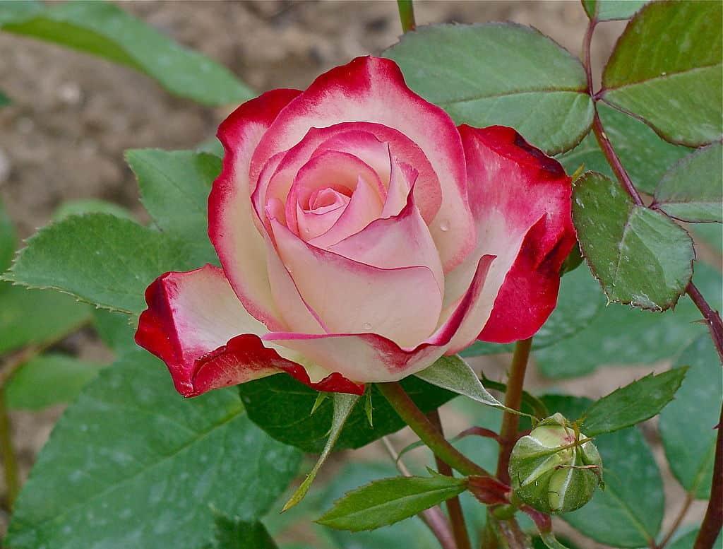 أسماء الورود النادرة
