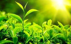 أوراق النباتات الخضراء