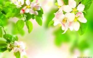 زهرة الربيع