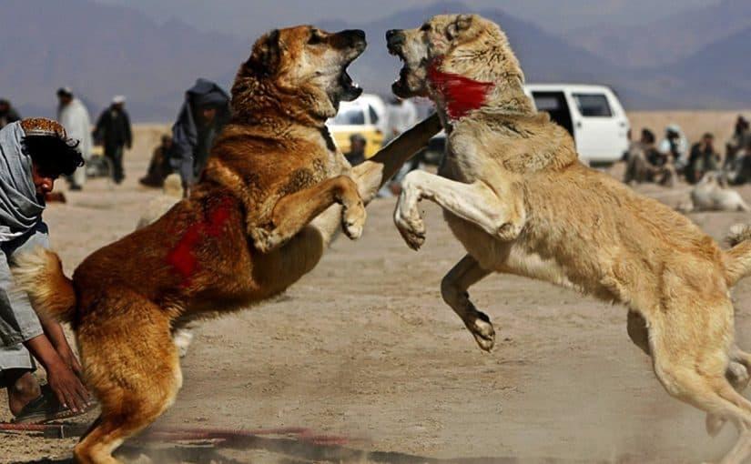 أشرس كلاب في العالم