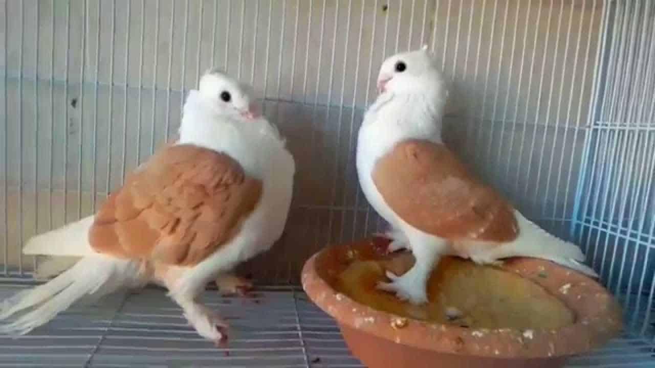 تربية الحمام