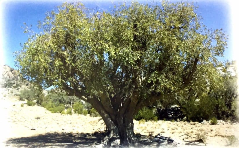 شجرة السرول
