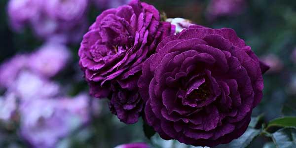 85021ed2e تفسير حلم الورد البنفسجي في المنام - موسوعة