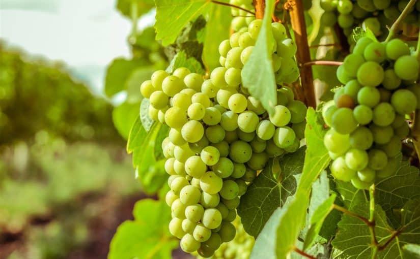 ما هو تفسير حلم العنب الأخضر في المنام لابن سيرين موسوعة