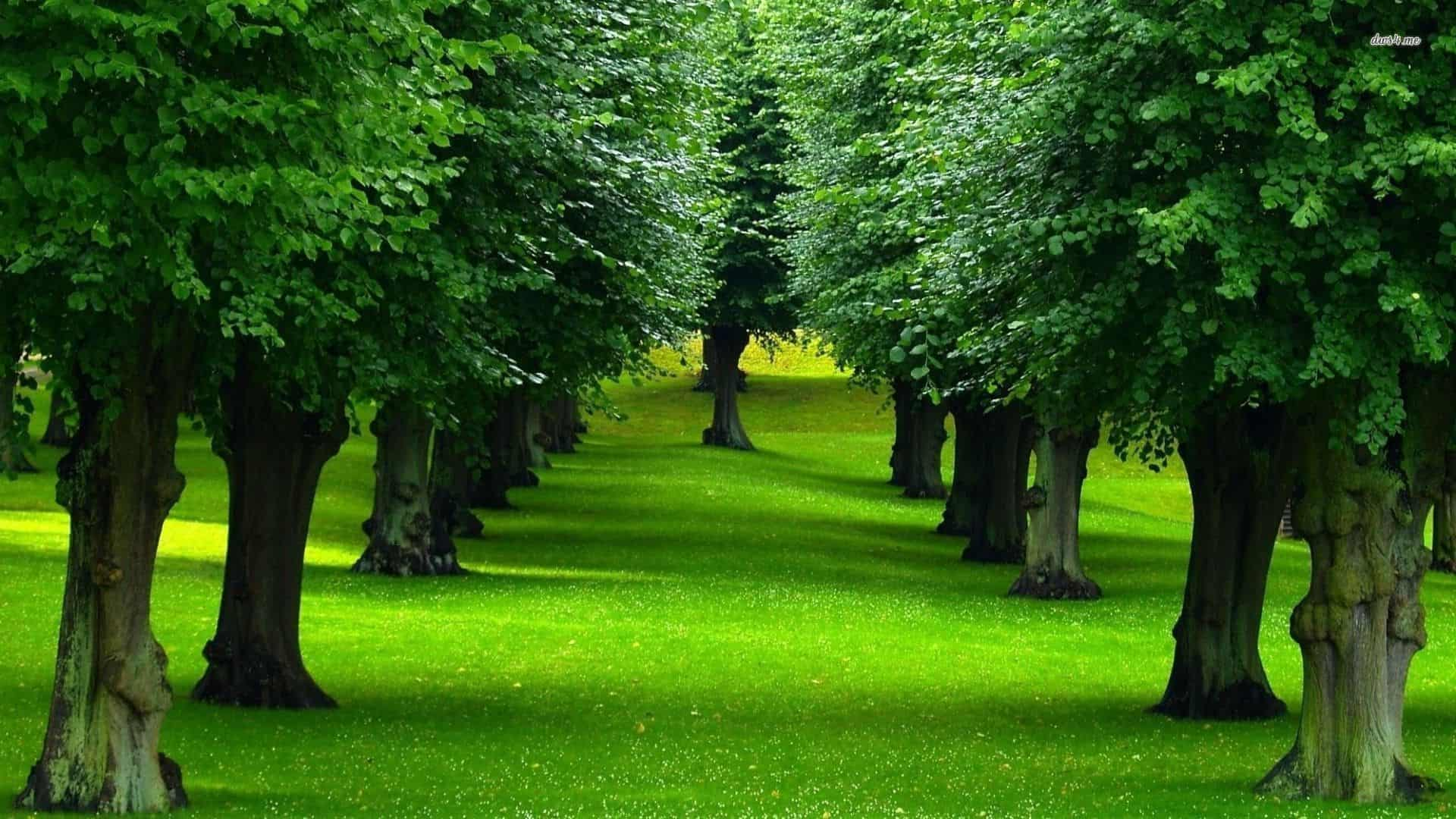 اسماء اشجار دائمة الخضرة