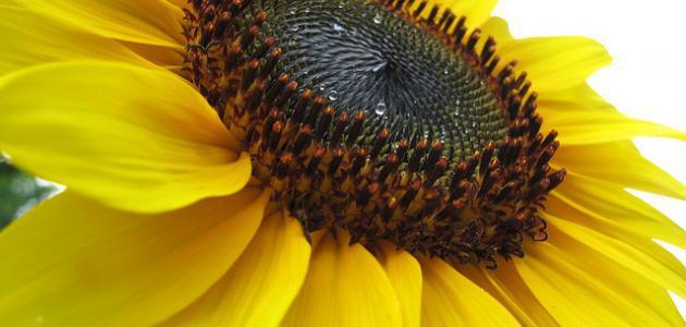 وردة دوار الشمس