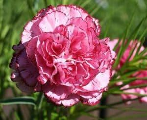 وردة القرنفل