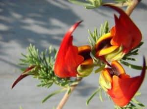 زهرة منقار الببغاء
