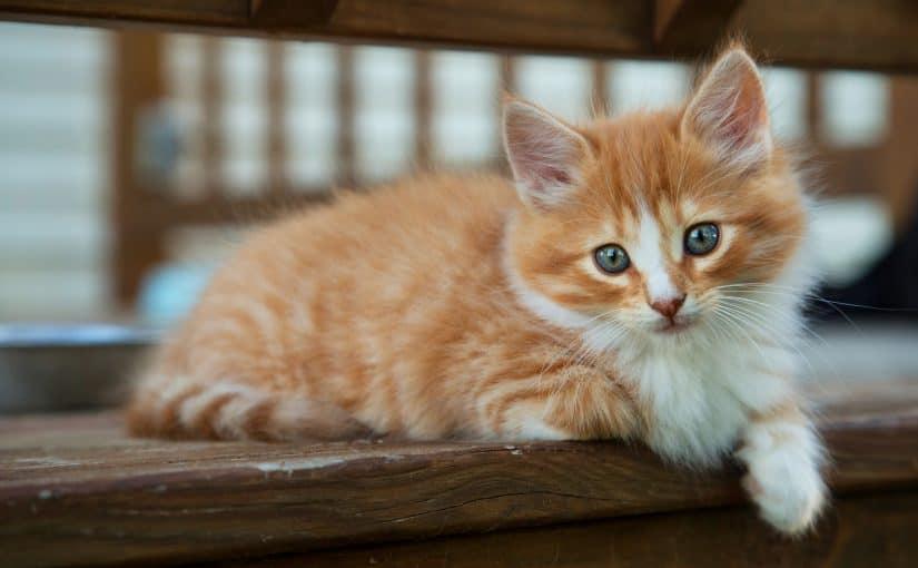 ماذا تأكل القطط من طعام البيت