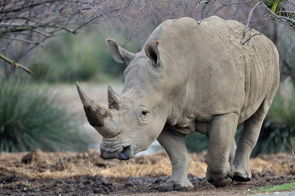 سبب انقراض وحيد القرن