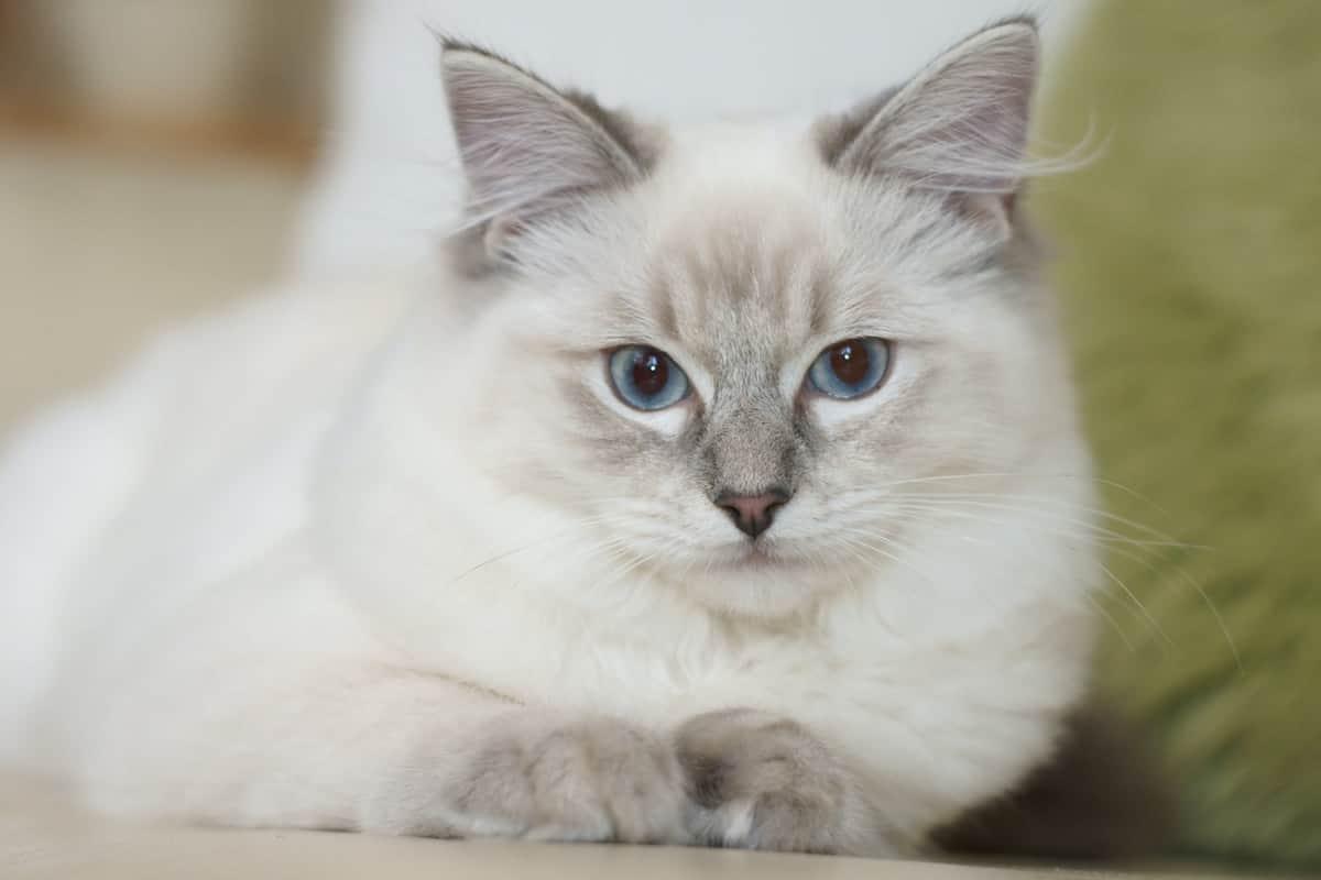 مدة حمل القطط
