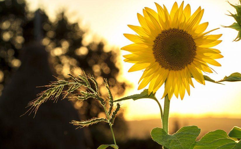 فوائد دوار الشمس موسوعة