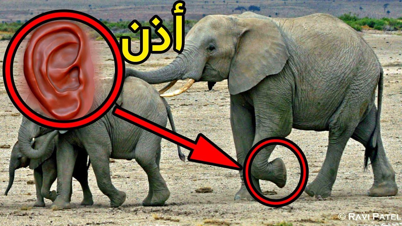 هل تعلم عن الفيل