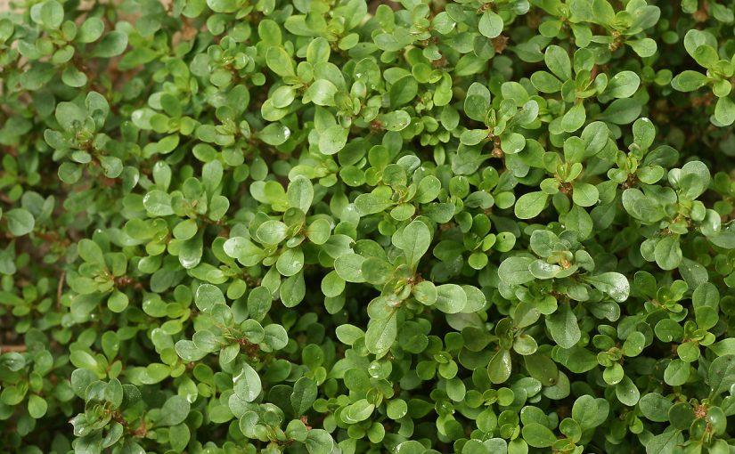 ما هي فوائد نبات الرجلة 7