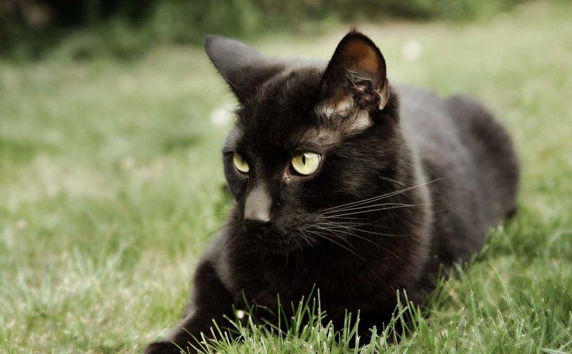 تفسير القط الاسود في المنام