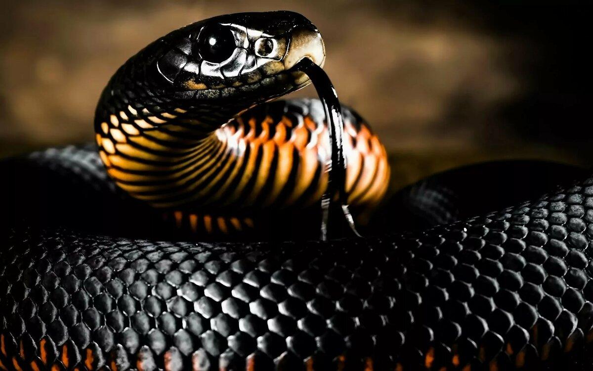 الثعابين السوداء