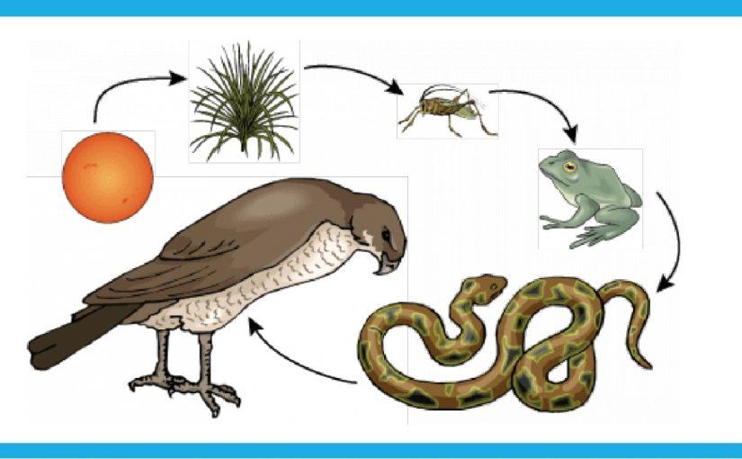 توضيح كيفية انتقال الطاقة في النظام البيئي
