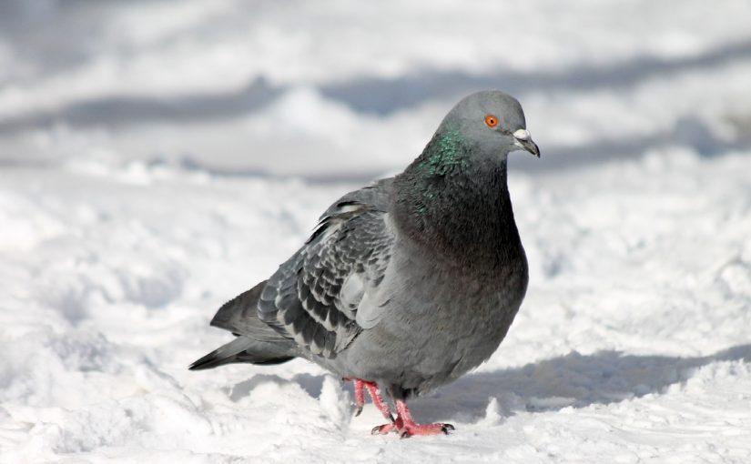 تفسير رؤية طيور الحمام في المنام للعزباء والمتزوجة والحامل موسوعة