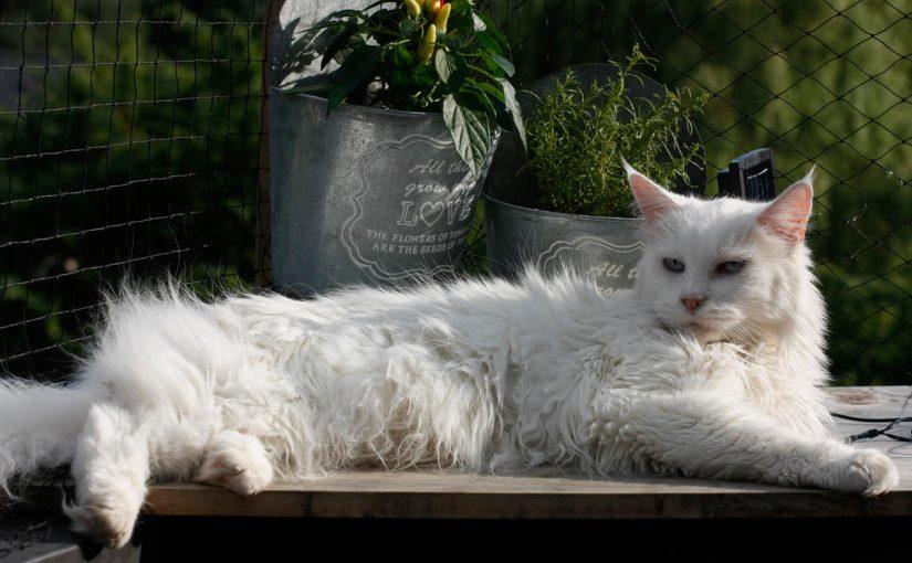 تفسير رؤية القطة البيضاء في المنام للعزباء