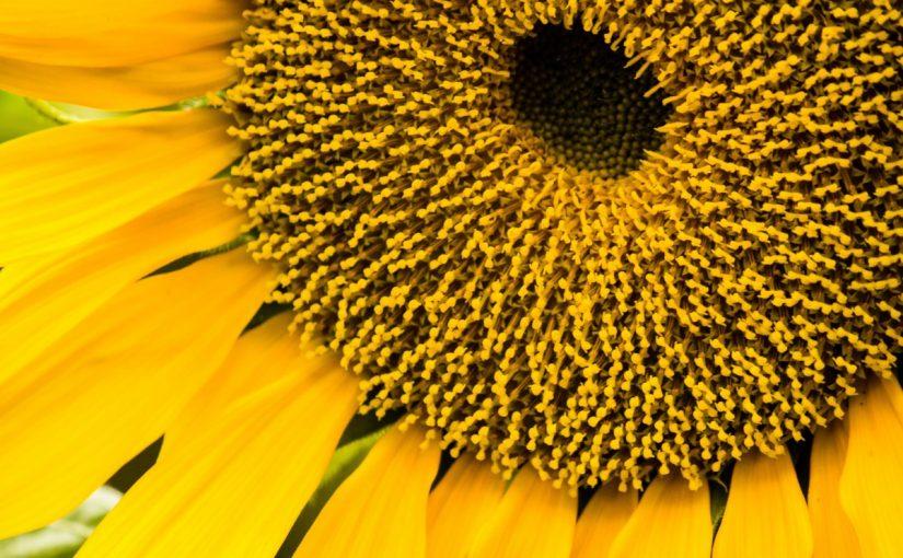 فوائد بذور دوار الشمس للجسم