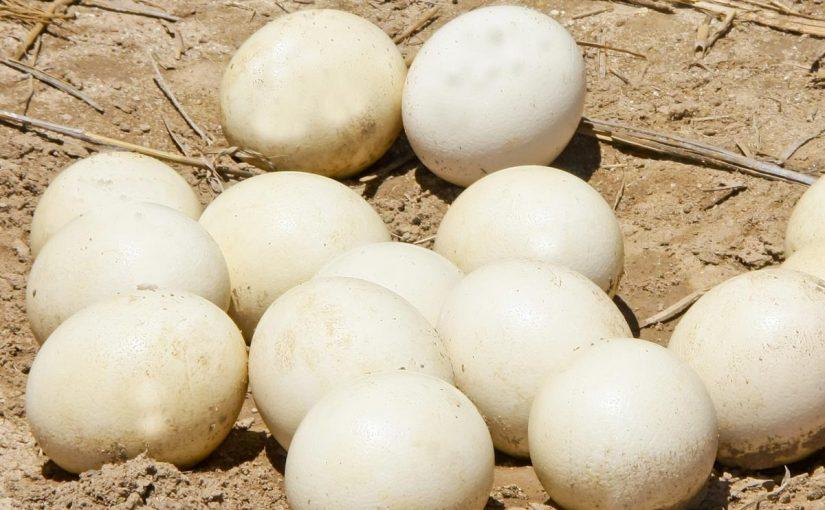 فوائد بيض النعام الطبية