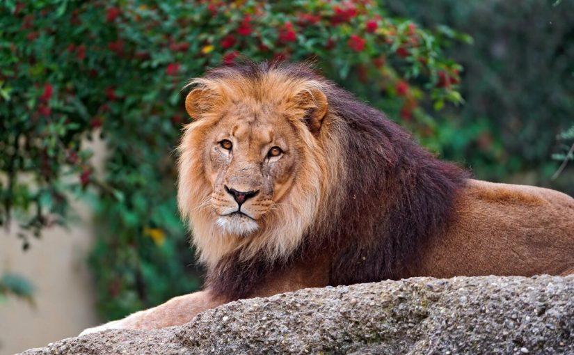 أسد يأكل ذراع حارسه أثناء إطعامه في حديقة حيوان بباكستان