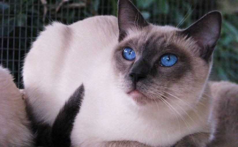معلومات عن القطط السيامية