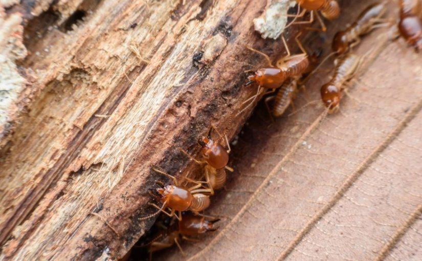 كيفية علاج سوس الخشب في المنزل