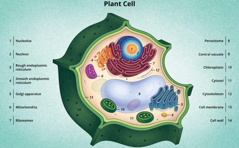 خصائص الخلية النباتية النموذجية