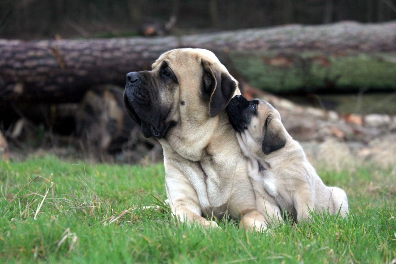 شكل كلاب الماستيف