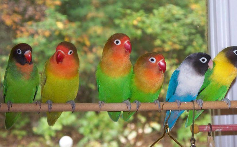 معلومات عن تربية طيور الفيشر