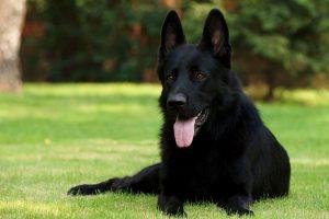 معلومات عن مميزات الكلب الجيرمن