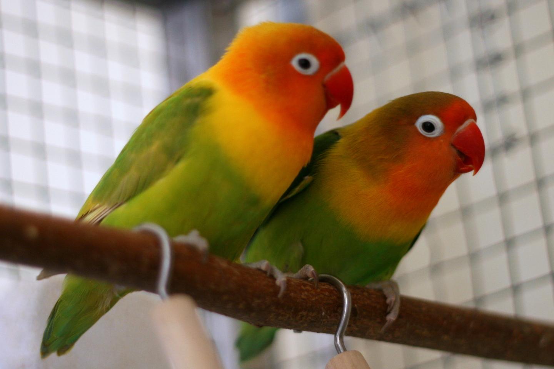 طائر الفيشر الأخضر