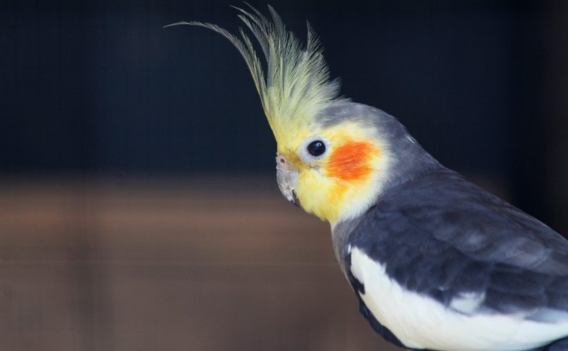 معلومات عن طائر الكروان