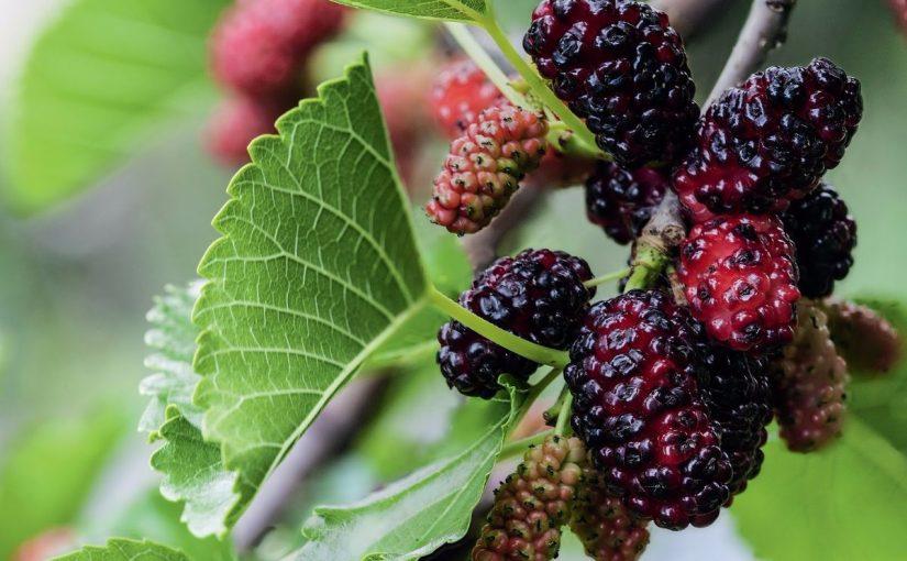 فوائد ثمار شجرة التوت