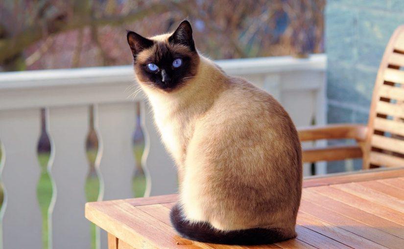 معلومات عن تربية القطط السيامي