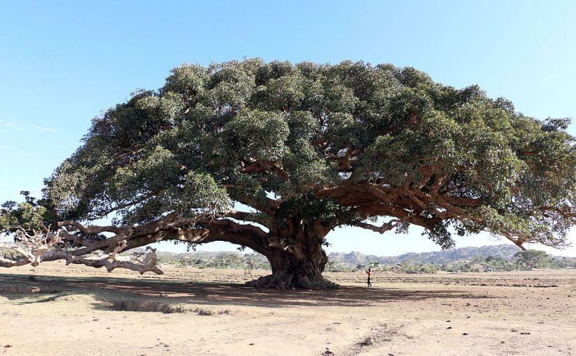شجرة الغرقد
