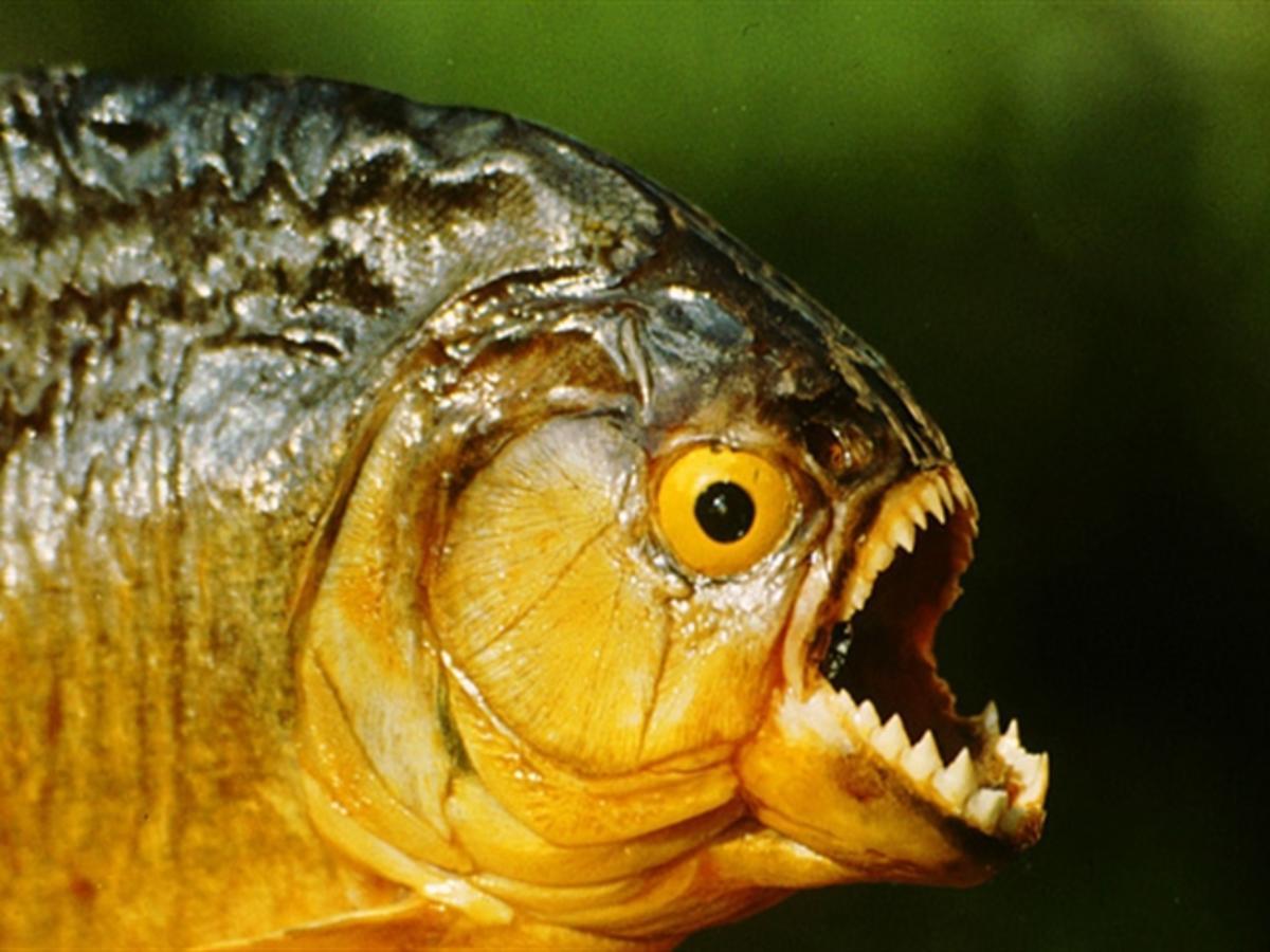 أسماك الضاري