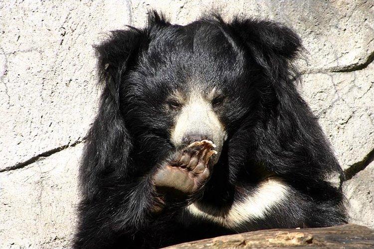 الدب الكسلان