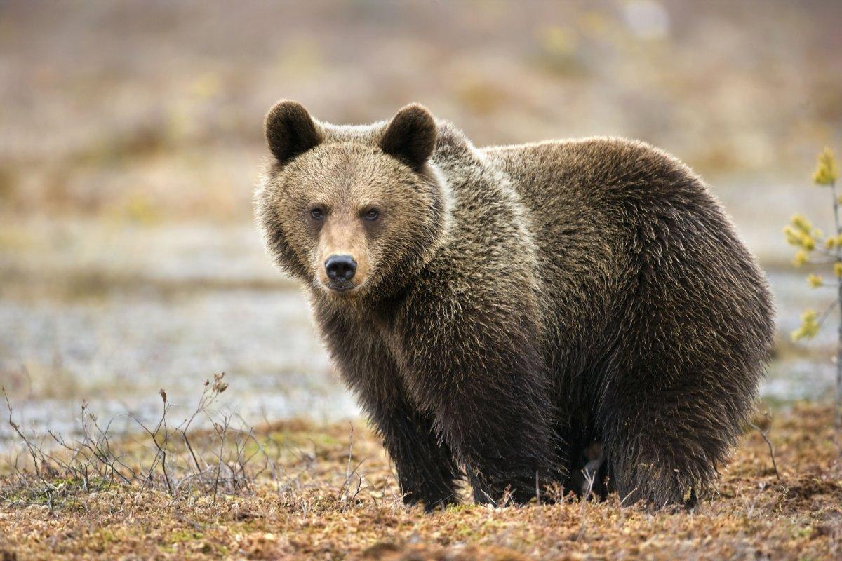 الدب البني