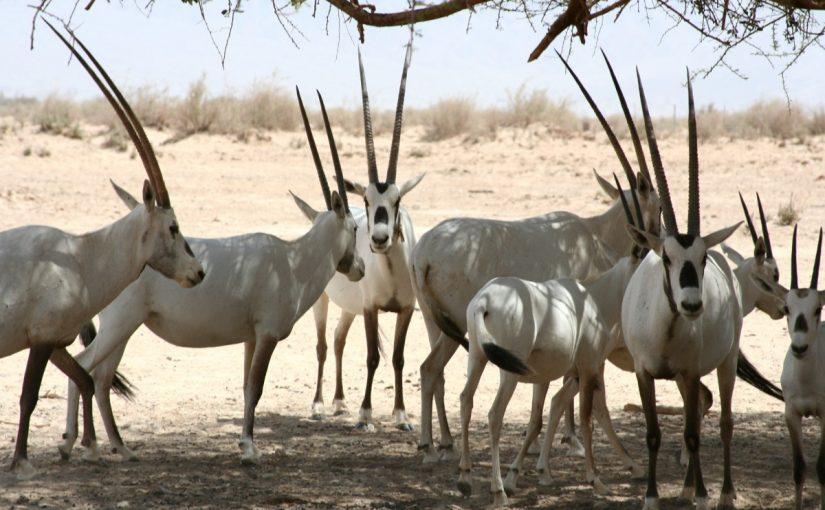 الحيوانات المهددة بالانقراض في المملكة العربية السعودية موسوعة