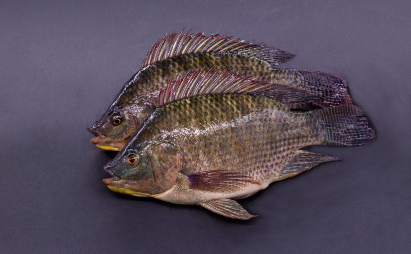 فوائد اكل السمك البلطي