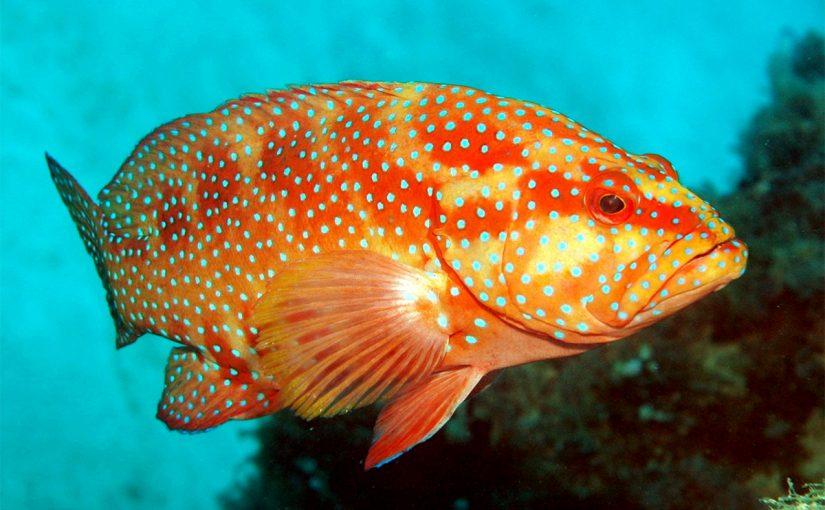 مواصفات سمك الناجل