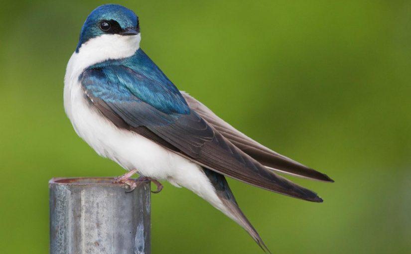 معلومات عن طائر الخطاف السنونو