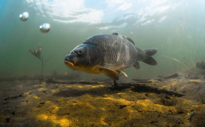 معلومات حول سمك الشبوط