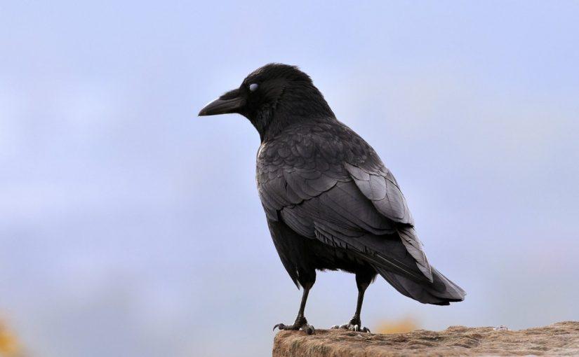 تقرير عن طائر الغراب