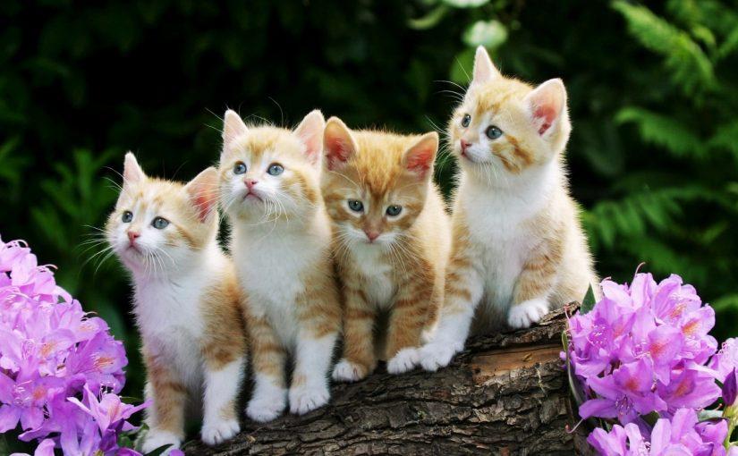مراحل حمل القطط