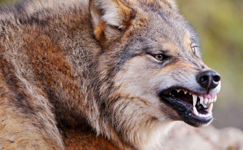 تفسير رؤية الذئب يهاجم في المنام تفسيرات حلم هجوم الذئاب موسوعة